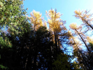 century-old tamaracks turned their fall colors just before they shed all their needles for winter