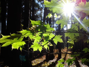 maple sapling still green though it's fall